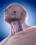 A anatomia do pescoço Imagens de Stock