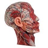 Anatomia do rosto humano Fotos de Stock