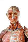 Anatomia do ser humano de Grunge fotografia de stock royalty free