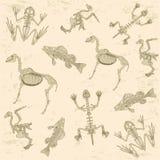 Anatomia dos animais, teste padrão de esqueleto Foto de Stock Royalty Free