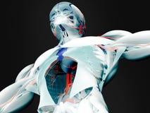 Anatomia dos músculos e das artérias fotos de stock