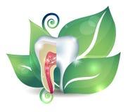 Anatomia e foglia del dente Fotografia Stock Libera da Diritti