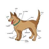 Anatomia externo do cão Peças do cachorrinho no inglês Foto de Stock