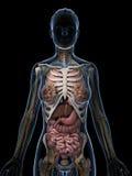 Anatomia fêmea Foto de Stock Royalty Free