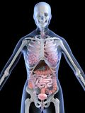 Anatomia fêmea Foto de Stock