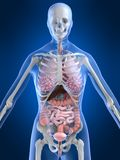 Anatomia fêmea Imagens de Stock Royalty Free