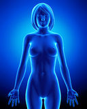 Anatomia fêmea de todos os órgãos Fotos de Stock