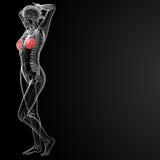 Anatomia fêmea do peito ilustração do vetor