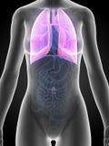 Anatomia fêmea - pulmão Foto de Stock Royalty Free