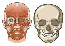 Anatomia facciale umana e cranio nel vettore Fotografia Stock Libera da Diritti