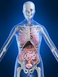 Anatomia femminile Immagini Stock Libere da Diritti