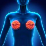 Anatomia femminile del seno Fotografie Stock