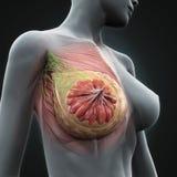 Anatomia femminile del seno Fotografie Stock Libere da Diritti