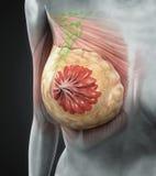 Anatomia femminile del seno Fotografia Stock