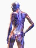 Anatomia humana Imagens de Stock