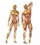 Anatomia humana Fotos de Stock Royalty Free