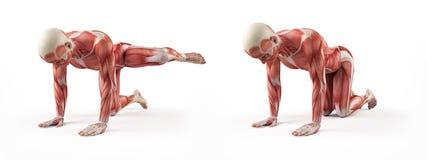 Anatomia humana Foto de Stock