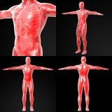 Anatomia humana Fotografia de Stock Royalty Free