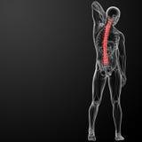 Anatomia humana da espinha ilustração royalty free