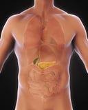 Anatomia humana da vesícula biliar e do pâncreas Foto de Stock