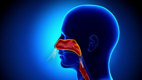 Anatomia humana das cavidades - gripe - nariz completo ilustração do vetor
