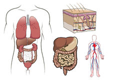 Anatomia humana dentro   Foto de Stock Royalty Free