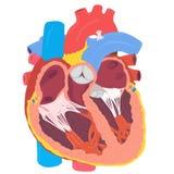 Anatomia humana do coração Fotografia de Stock Royalty Free
