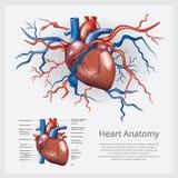 Anatomia humana do cora??o ilustração do vetor