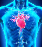 Anatomia humana do coração Imagens de Stock