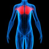 Anatomia humana do corpo do músculo ilustração stock