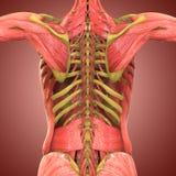 Anatomia humana do corpo do músculo Fotografia de Stock