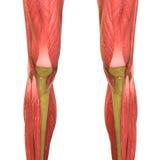 Anatomia humana do corpo do músculo (pés) ilustração do vetor