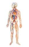 Anatomia humana do homem fotos de stock