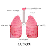 Anatomia humana dos pulmões Imagem de Stock Royalty Free