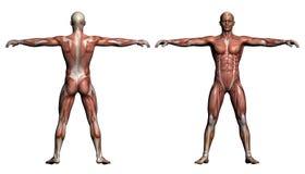 Anatomia humana - músculos masculinos Imagens de Stock