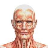 Anatomia humana masculina atlética e músculos Imagens de Stock Royalty Free