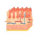 Anatomia intestinale della parete illustrazione vettoriale