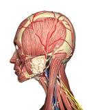 Anatomia kierowniczy bocznego widoku 3D rendering Fotografia Stock