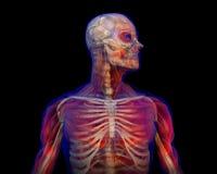 anatomia kościec ludzki ilustracyjny Zdjęcie Royalty Free