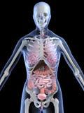 anatomia kobieta Zdjęcie Stock