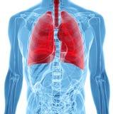 Anatomia ludzcy płuca w promieniowanie rentgenowskie widoku ilustracji
