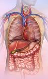 Anatomia ludzki bagażnik Zdjęcie Royalty Free