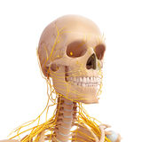 Anatomia ludzkiej głowy układ nerwowy Obrazy Royalty Free
