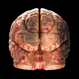 Anatomia mózg - Tylny widok royalty ilustracja