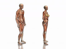Anatomia, músculos transparant com esqueleto. Foto de Stock