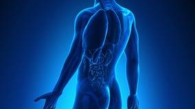 Anatomia maschio - milza umana stock footage
