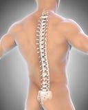 Anatomia maschio umana della spina dorsale Fotografie Stock