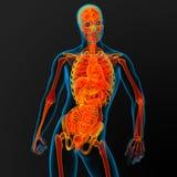 Anatomia masculina Imagens de Stock