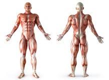 Anatomia, músculos Fotos de Stock Royalty Free