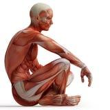 Anatomia, muscoli Immagini Stock